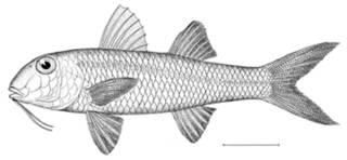 To NMNH Extant Collection (Mullus barbatus auratus P11023 illustration)