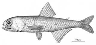 To NMNH Extant Collection (Myctophum gilberti P09699 illustration)