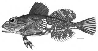 To NMNH Extant Collection (Myoxocephalus scorpius P08594 illustration)