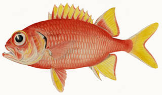 To NMNH Extant Collection (Myripristis chyseres P09545 illustration)