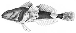 To NMNH Extant Collection (Myoxocephalus parvulus P09722 illustration)