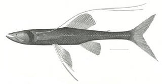 To NMNH Extant Collection (Bathypterois P01693 illustration)
