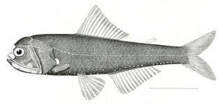 To NMNH Extant Collection (Aethoprora lucida P00282 illustration)