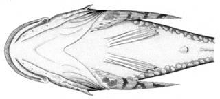 To NMNH Extant Collection (Myoxocephalus stelleri P09580 illustration)