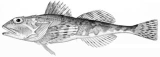 To NMNH Extant Collection (Myoxocephalus verrucosus P09585 illustration)