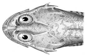 To NMNH Extant Collection (Myoxocephalus verrucosus P09586 illustration)