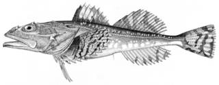 To NMNH Extant Collection (Myoxocephalus jaok P09609 illustration)