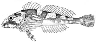 To NMNH Extant Collection (Myoxocephalus mednius P09610 illustration)
