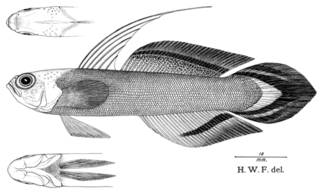 To NMNH Extant Collection (Nemateleotras magnificus P09078 illustration)