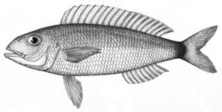 To NMNH Extant Collection (Nemipterus worcesteri P09087 illustration)