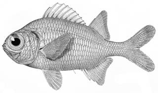 To NMNH Extant Collection (Myripristis sanguineus P09512 illustration)