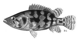 To NMNH Extant Collection (Nandus nandus P09543 illustration)