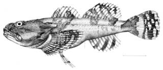 To NMNH Extant Collection (Myoxocephalus yesoensis P09588 illustration)
