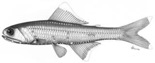 To NMNH Extant Collection (Notoscopelus castaneus P09383 illustration)
