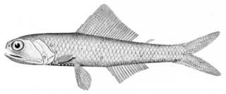 To NMNH Extant Collection (Notoscopelus caudispinosus P09384 illustration)