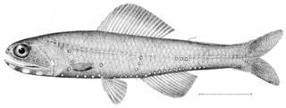 To NMNH Extant Collection (Notoscopelus castaneus P09385 illustration)