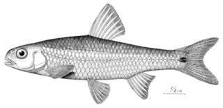 To NMNH Extant Collection (Notropis hudsonius selene P01077 illustration)