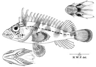 To NMNH Extant Collection (Ocosia gracile P08696 illustration)