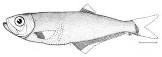 To NMNH Extant Collection (Odontognathus tropicus P08711 illustration)