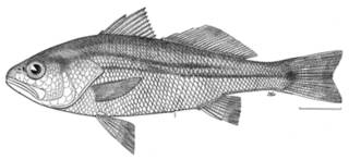 To NMNH Extant Collection (Odontoscion australis P08712 illustration)