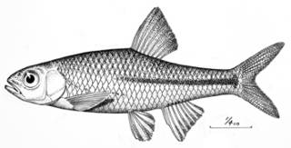 To NMNH Extant Collection (Notropis santamariae P09445 illustration)