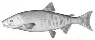 To NMNH Extant Collection (Oncorhynchus keta P05101 illustration)