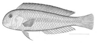 To NMNH Extant Collection (Novaculichthys infirmis P09486 illustration)