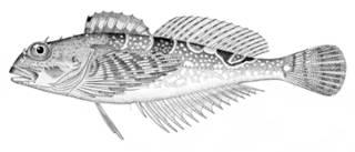 To NMNH Extant Collection (Oligocottus maculosus P08736 illustration)