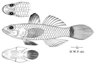 To NMNH Extant Collection (Ommatogobius fragilis P08745 illustration)
