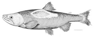 To NMNH Extant Collection (Oncorhynchus nerka P08847 illustration)