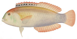 To NMNH Extant Collection (Novaculichthys woodi P09493 illustration)