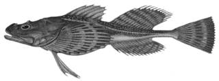 To NMNH Extant Collection (Oncocottus quadricornis P08965 illustration)
