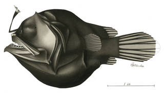 To NMNH Extant Collection (Oneirodes P08978 illustration)