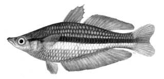 To NMNH Extant Collection (Melanotaenia nigrans P13883 illustration)