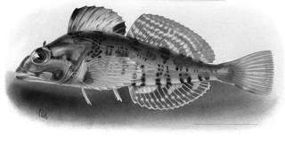 To NMNH Extant Collection (Pseudoblennius zonostigma P07220 illustration)
