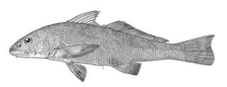 To NMNH Extant Collection (Menticirrhus rostratus P13497 illustration)