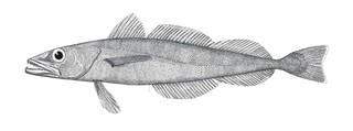 To NMNH Extant Collection (Merluccius albidus P09833 illustration)