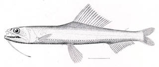 To NMNH Extant Collection (Astronesthes gemmifer P01335 illustration)