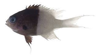 To NMNH Extant Collection (Chromis iomelus USNM 371152 photograph lateral view)