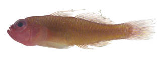 To NMNH Extant Collection (Trimma benjamini USNM 379899 photograph lateral view)