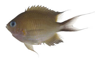 To NMNH Extant Collection (Chromis amboinenesis USNM 371236 photograph lateral view)