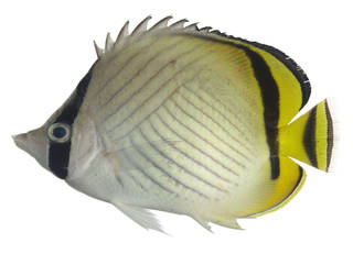 To NMNH Extant Collection (Chaetodon vagabundus USNM 371353 photograph lateral view)