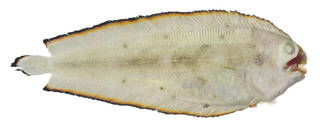 To NMNH Extant Collection (Soleichthys USNM 379889 photograph dorsal view)
