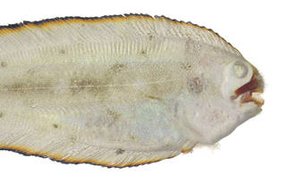 To NMNH Extant Collection (Soleichthys USNM 379889 photograph head dorsal view)