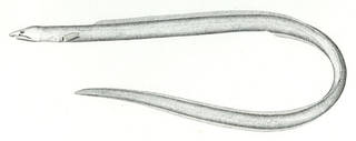 To NMNH Extant Collection (Pisoodontophis cruentifer P08178 illustration)