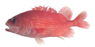 To NMNH Extant Collection (Plectrypops lima USNM 373895 photograph lateral view)