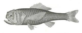 To NMNH Extant Collection (Plectromus suborbitalis P07767 illustration)