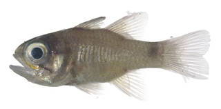 To NMNH Extant Collection (Nectamia USNM 379882 photograph lateral view)