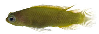 To NMNH Extant Collection (Pseudoplesiops knighti USNM 373436 photograph lateral view)