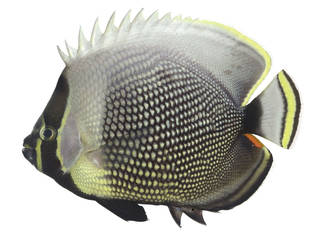 To NMNH Extant Collection (Chaetodon reticulatus USNM 373543 photograph lateral view)